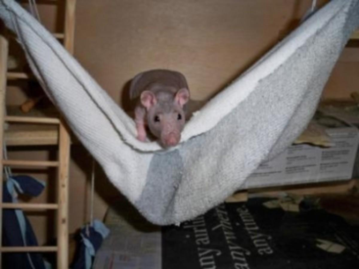 Ratticus's sock hammock