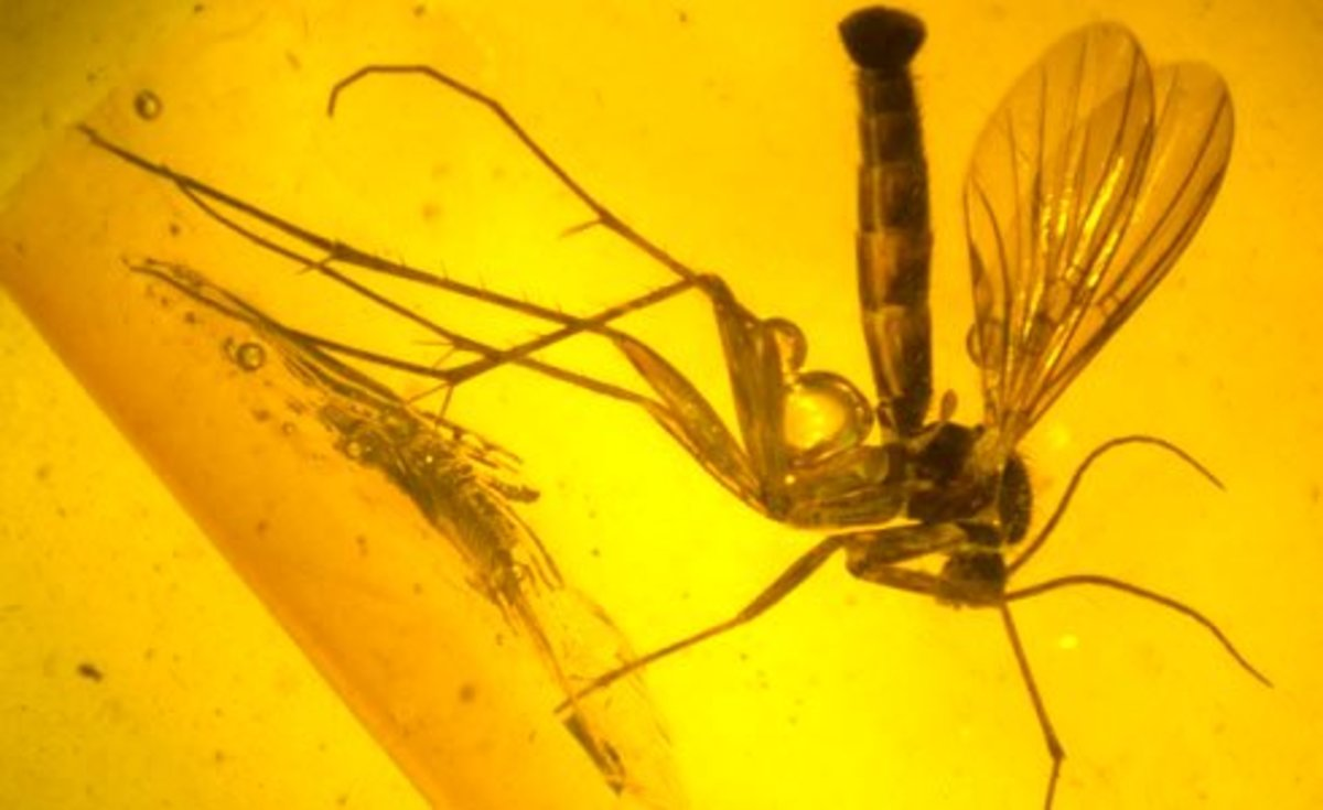 Insect  in fossilized Amber