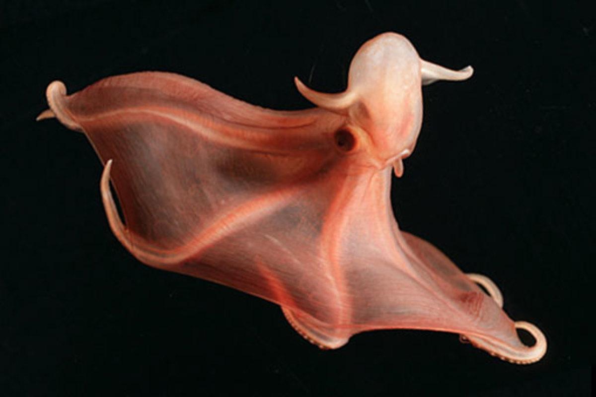 Stauroteuthis Sertensis - Dumbo Octopus