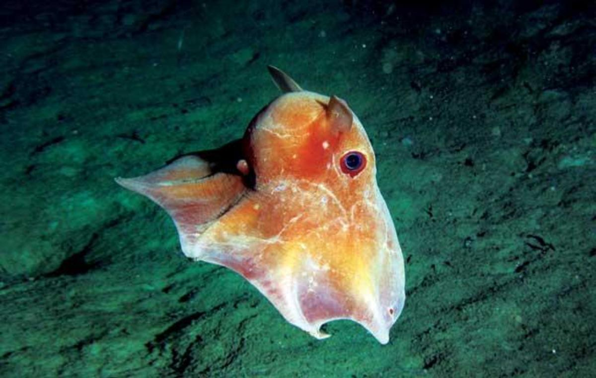 Dumbo Octopus at Sea