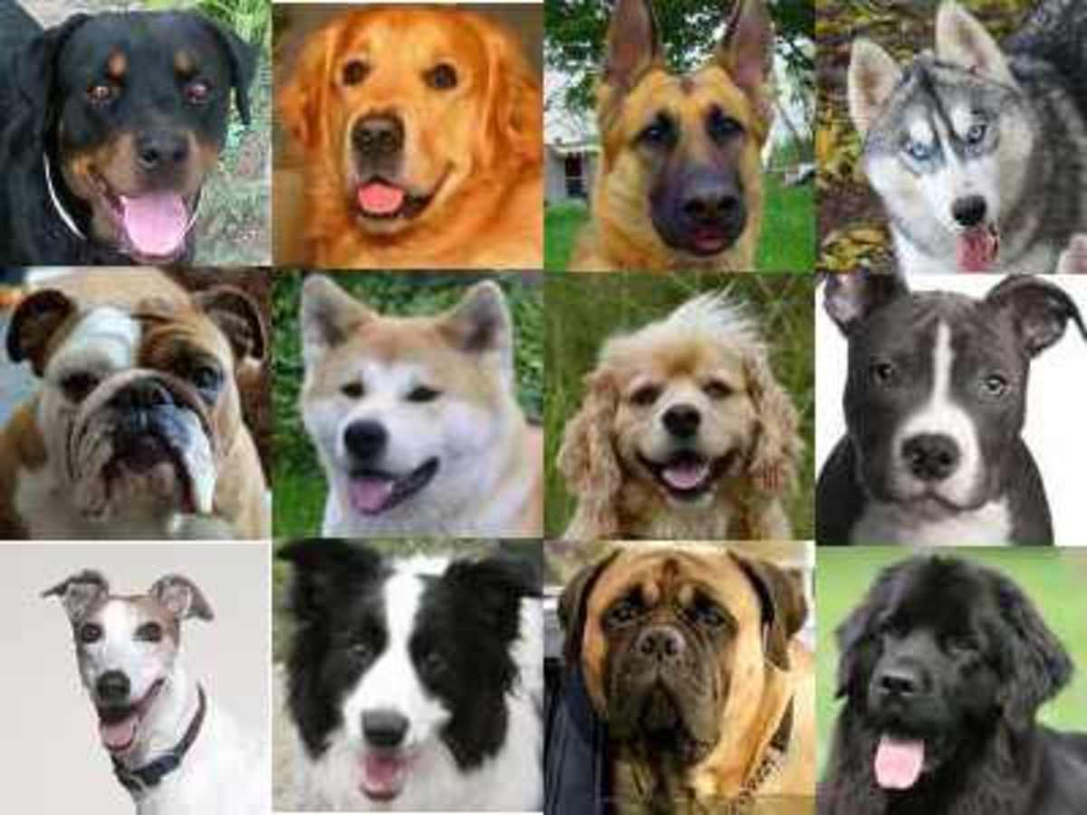 Here are just a few of the many dog breeds that have come into existence with the intervention of humanity. Many were bred for very specific jobs.