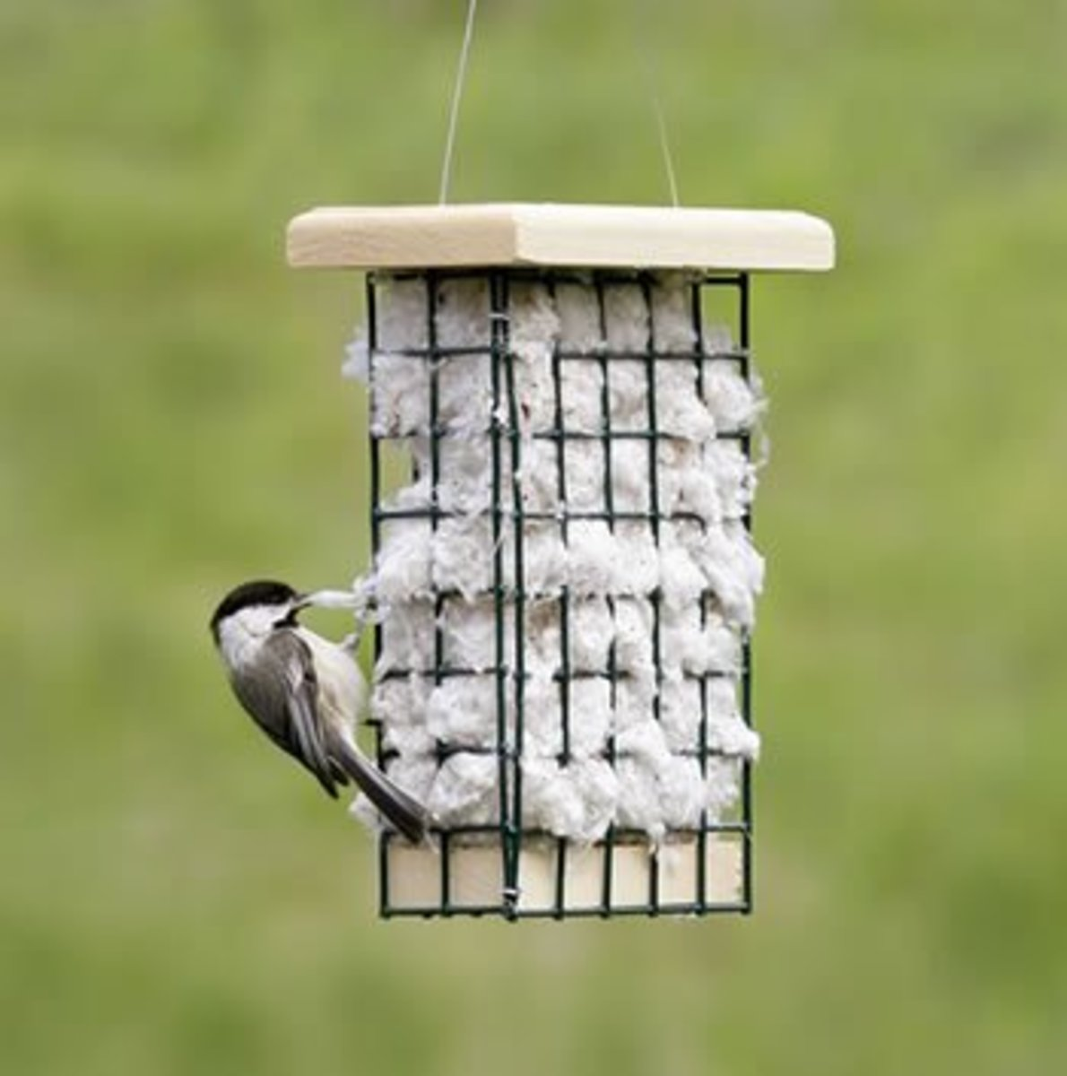 Chickadee at Nesting Material Station