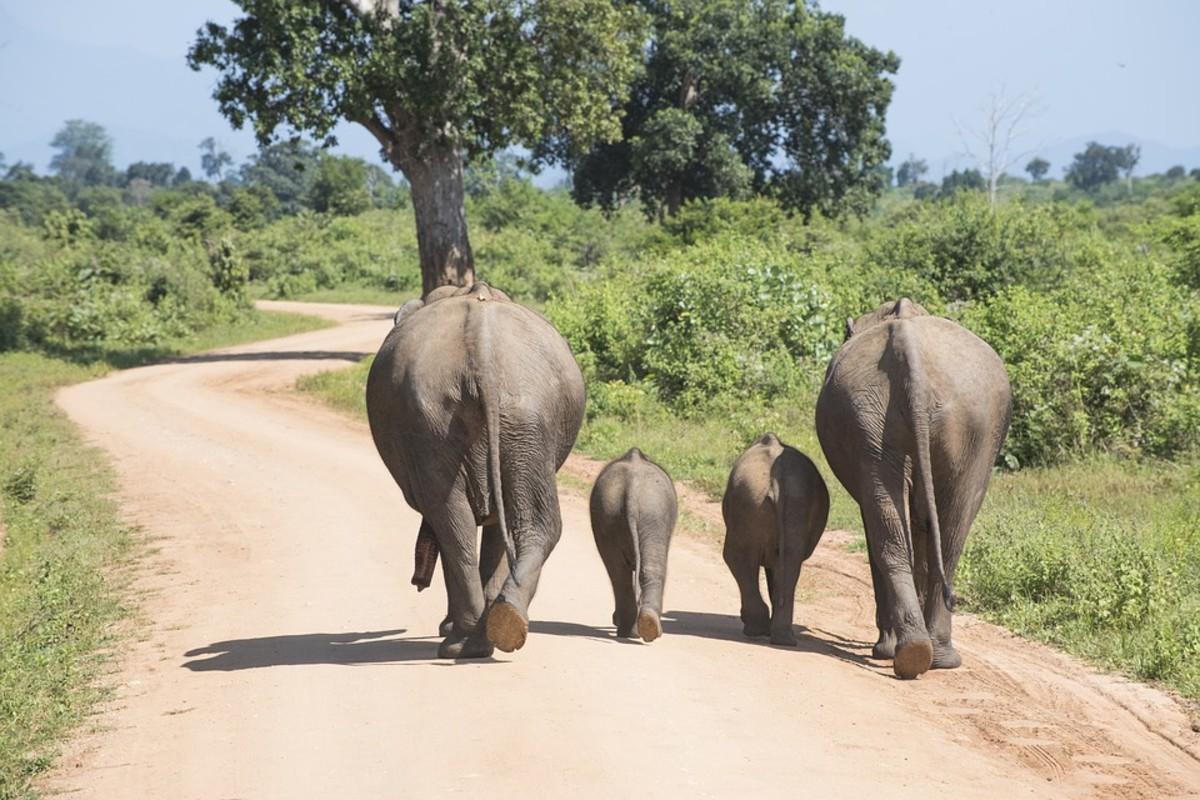 elephant-with-a-heart-how-elephants-communicate-and-use-language