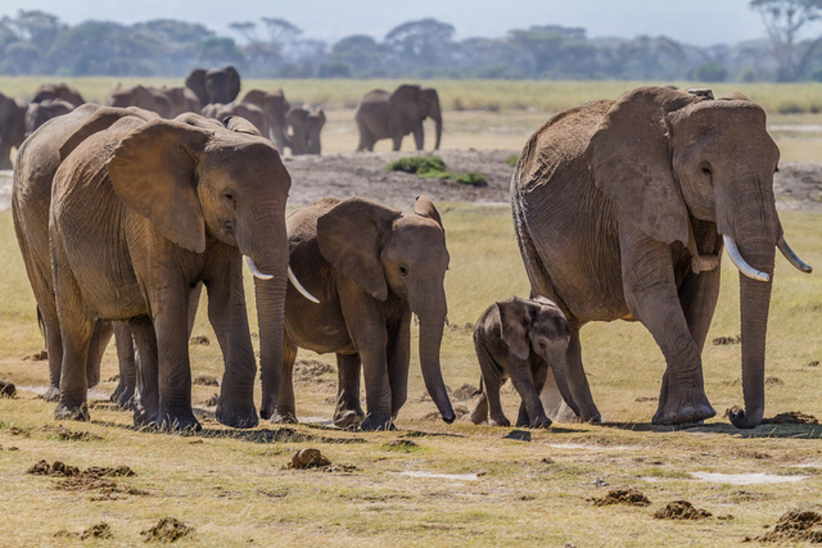 Animals With Heart - How Elephants Communicate and Use Language