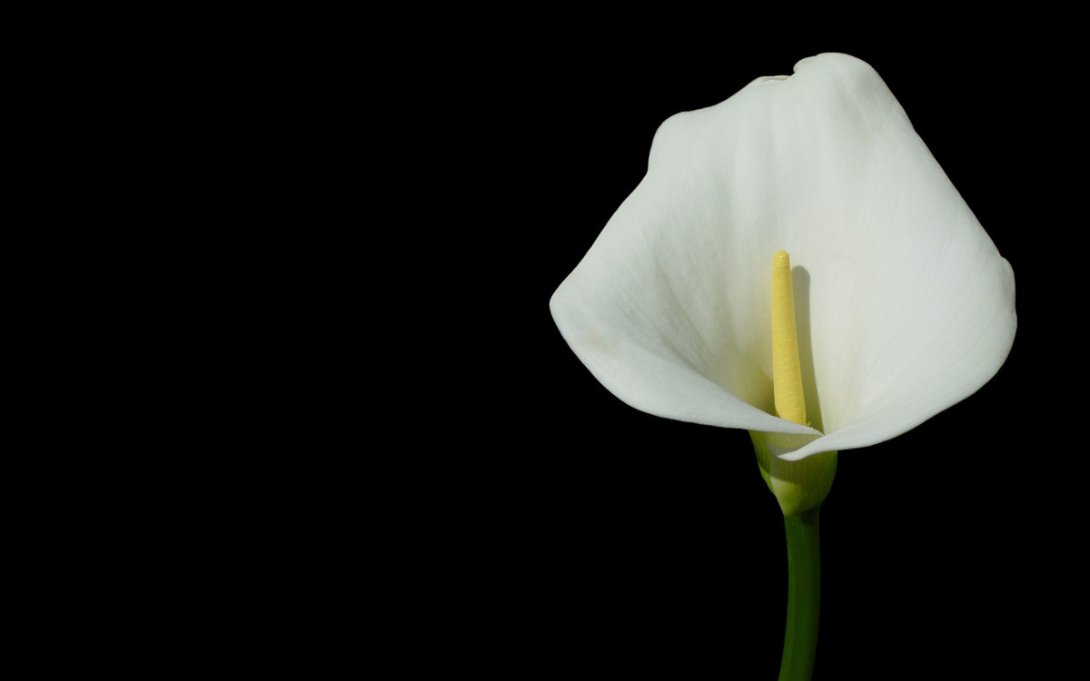Calla Lily from WallpapersNova