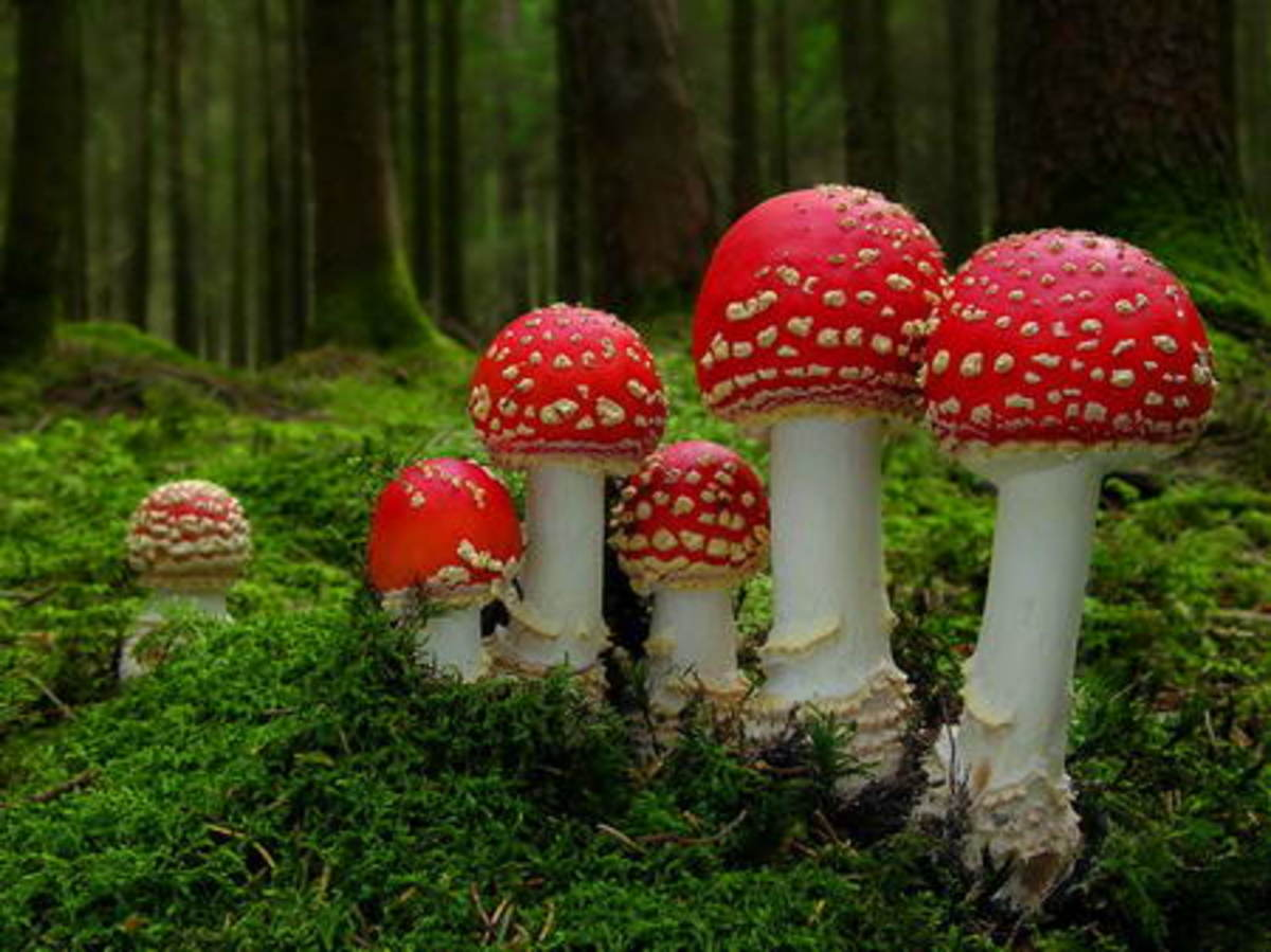A group of Fly Agaric (Amanita muscaria) growing in a compact formation - It's unusual to see Agarics growing so compact like this