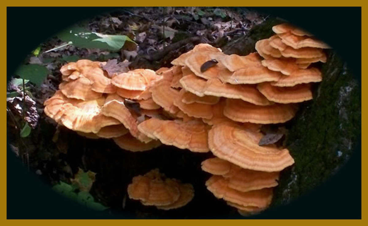 Do You Eat the Chicken of the Woods Mushroom?