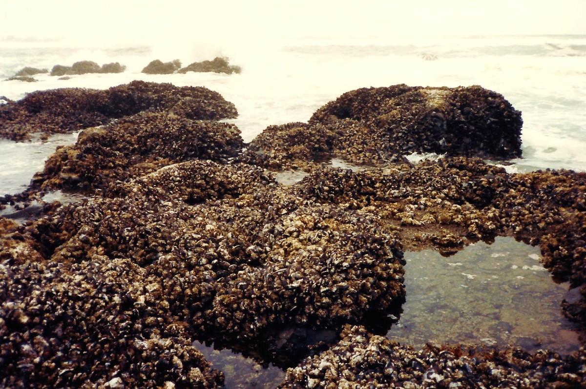 Barnacle encrusted rocks along Oregon coastline