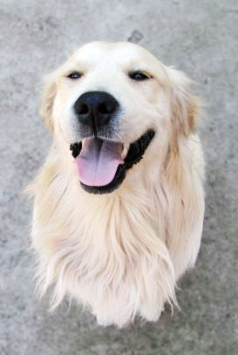 a golden retriever