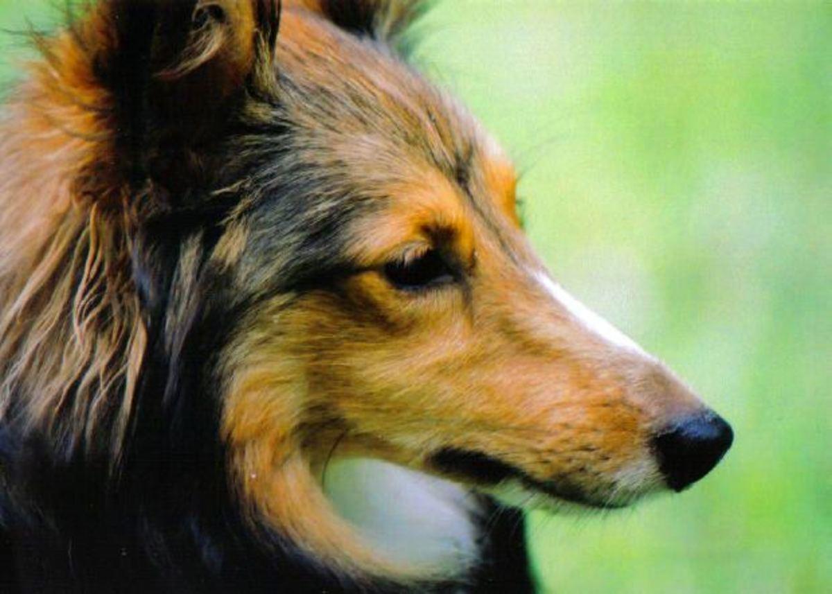 the sheltie dog