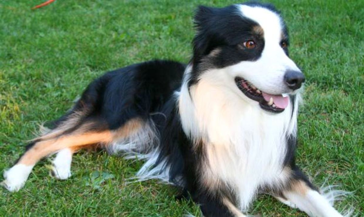 border collies the smartest dog breed