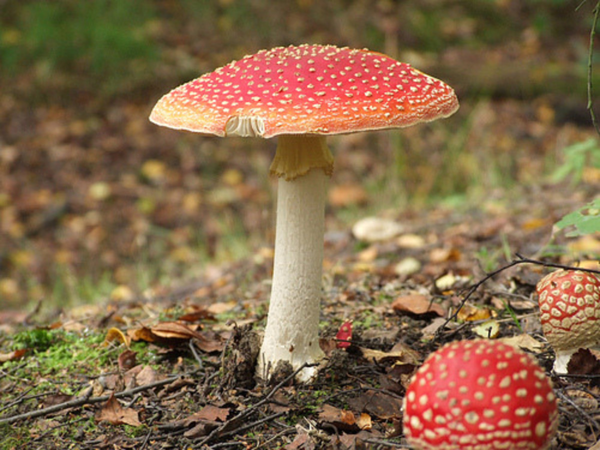 Poisonous mushrooms/toadstools