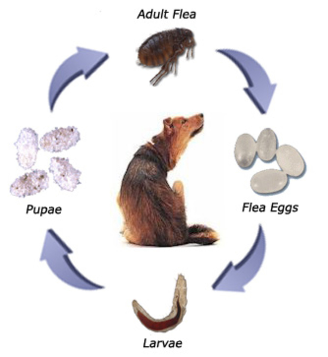 Life Cycle of Dog Fleas