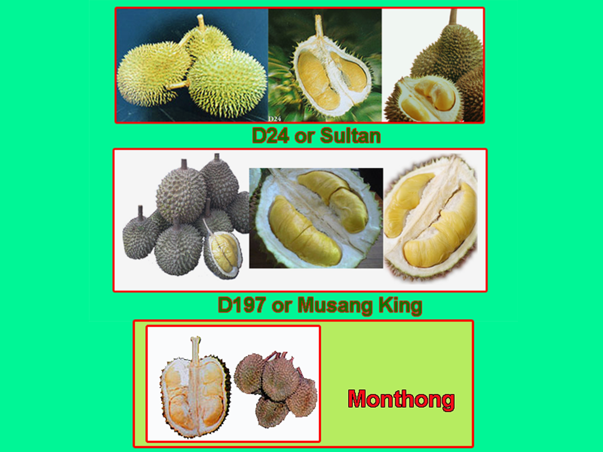 Three popular durian cultivars or varieties. Always get the best durians to make your mooncake.