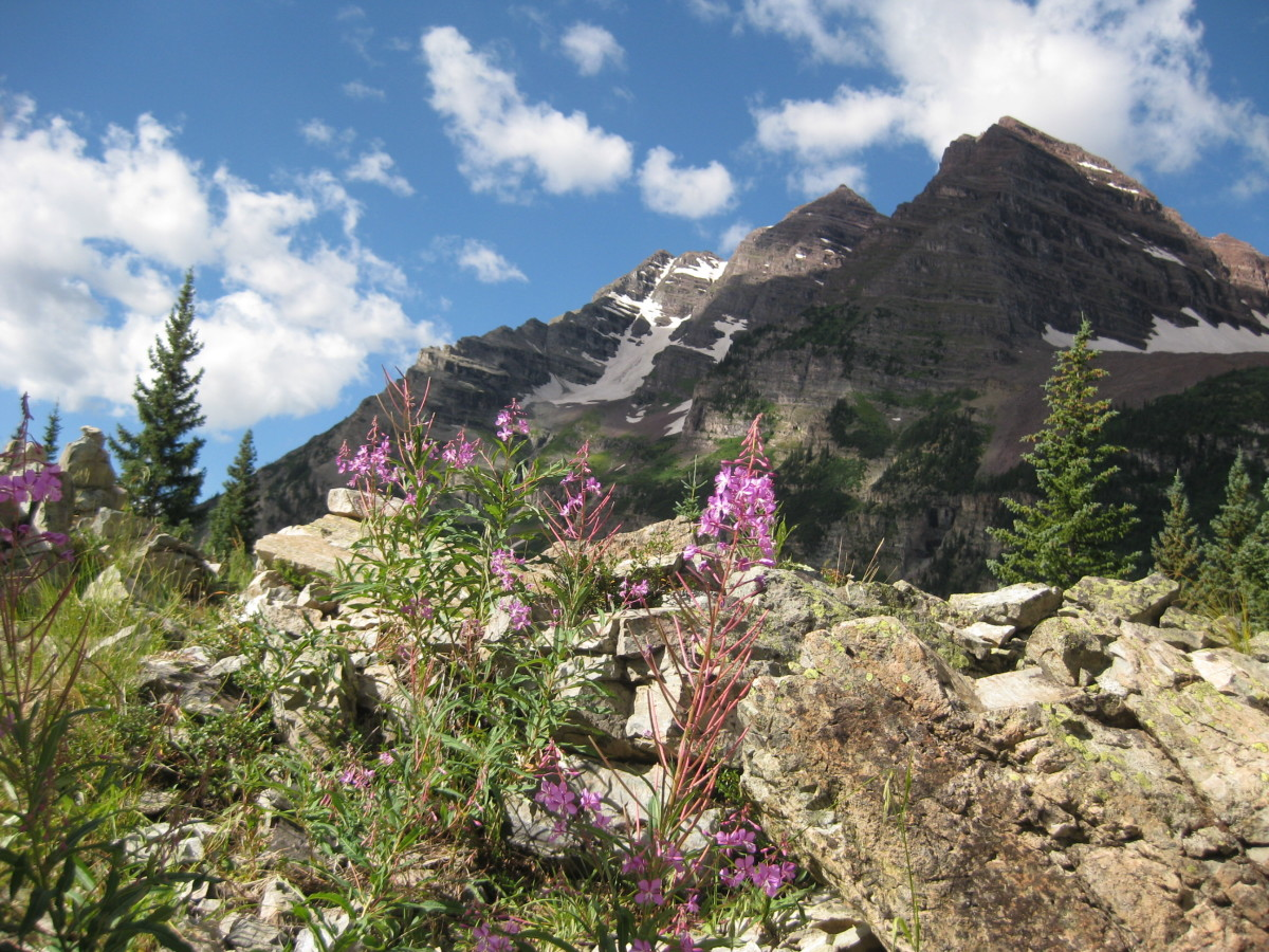 Fireweed in full bloom in front of the Maroon Bells.