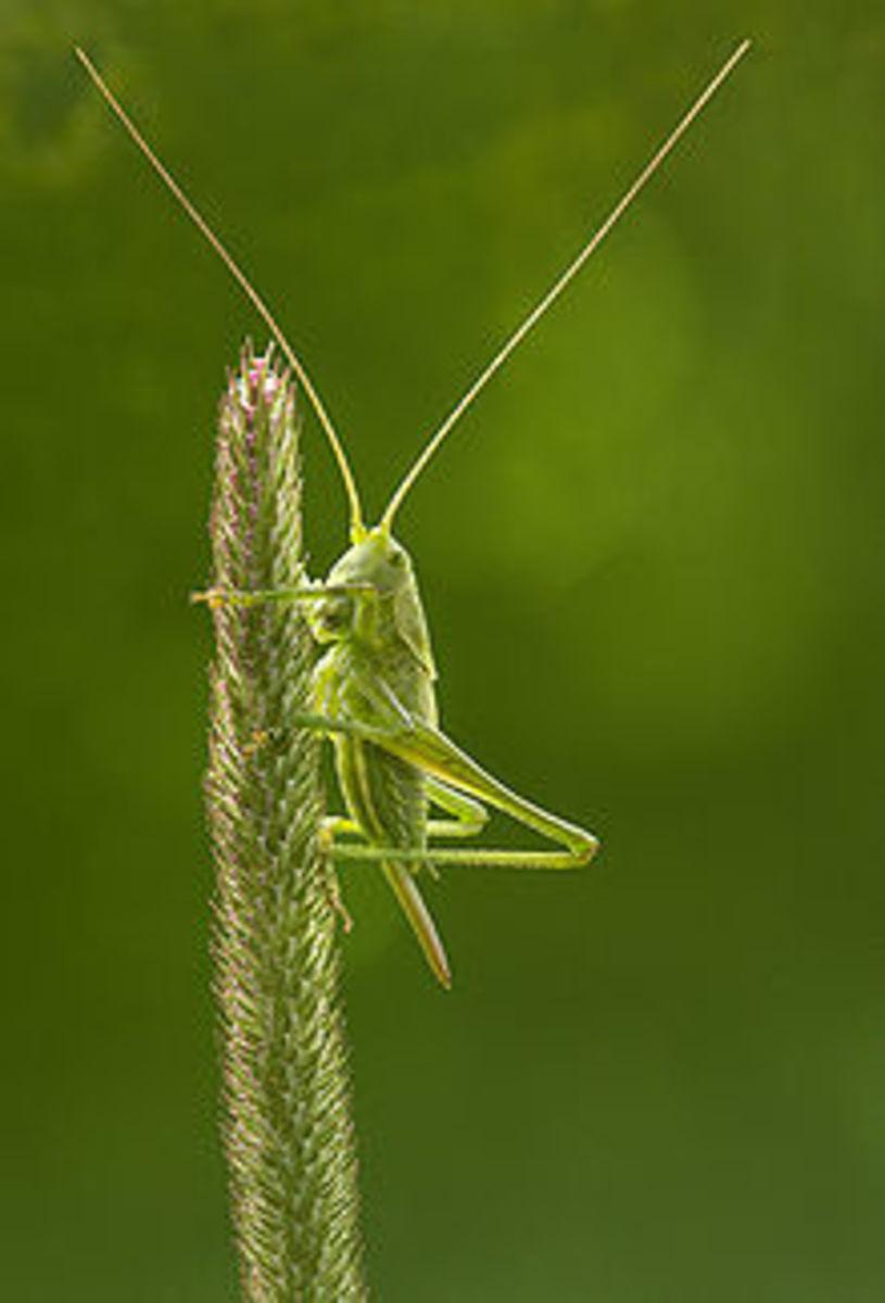 katydid-love