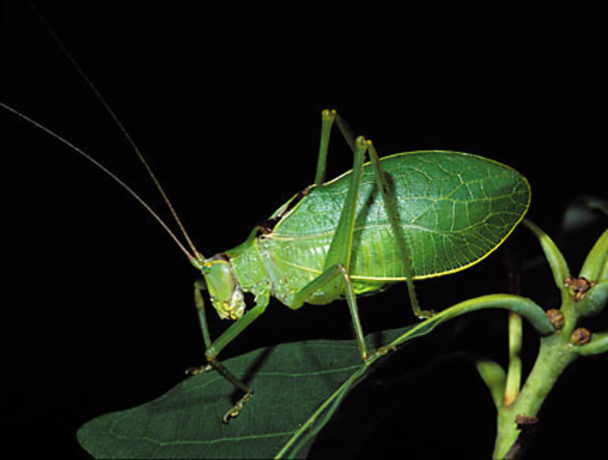 Katydid - Summer Music Maker