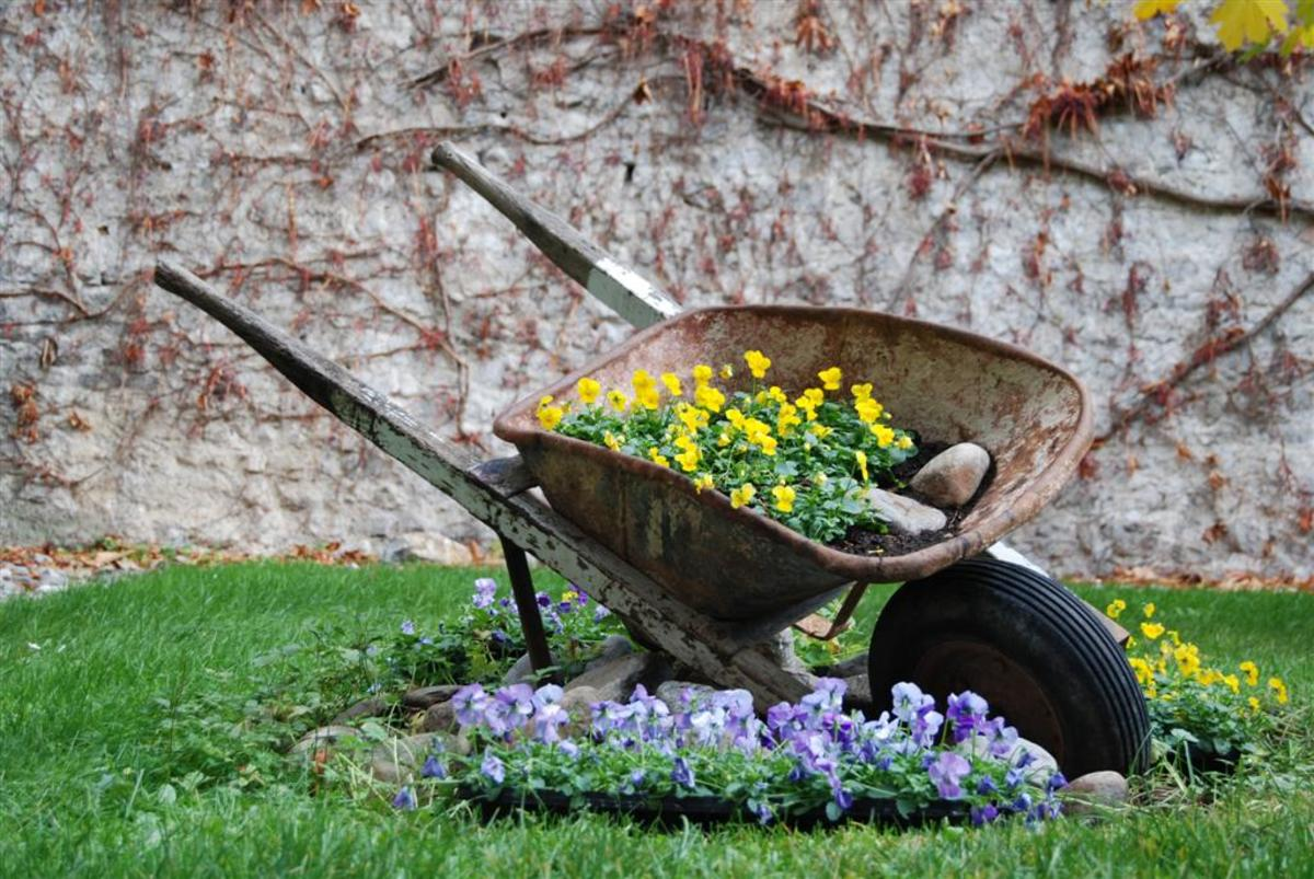 A retired wheelbarrow starting a new life as a rustic container for spring flowers.