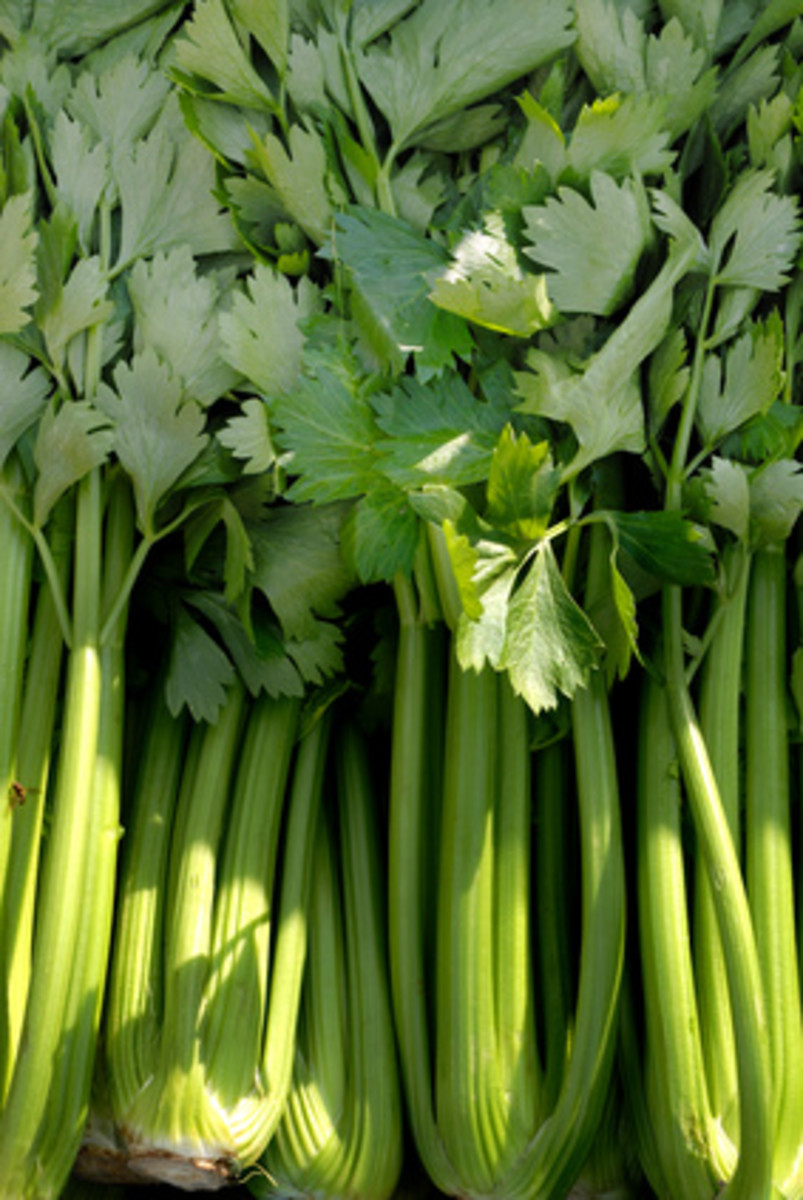 European Celery. Image: © Patrick Hermans - Fotolia.com