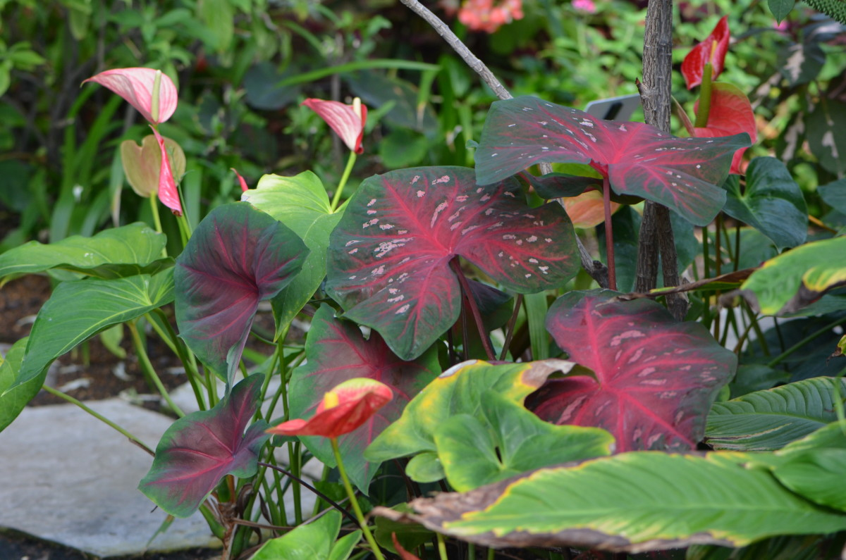 Photo 8 - Green and Red Caladiums
