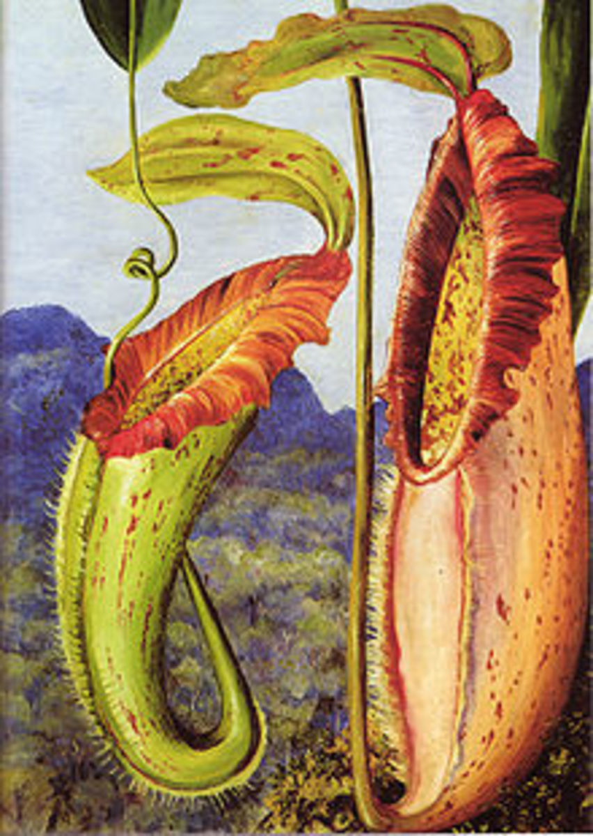 Nepenthes northiana, one of the many nepenthes  plants found in Southeast Asia.