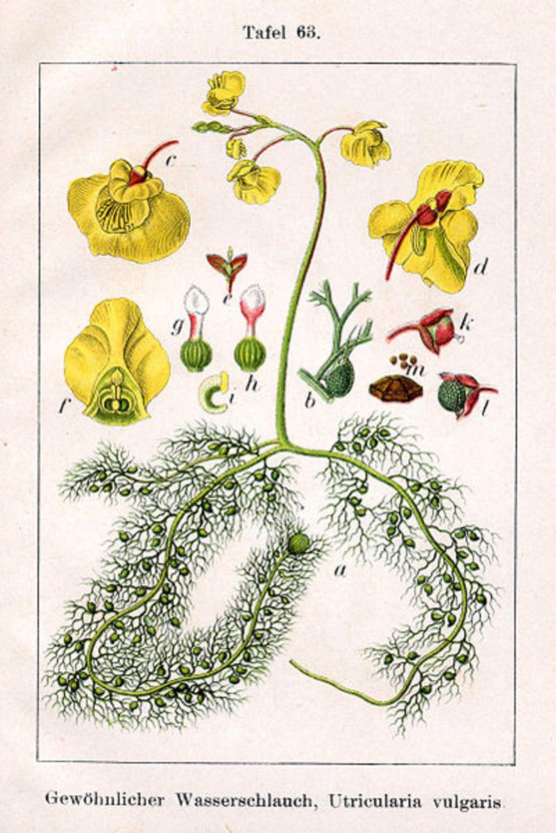 Urticularia vulgaris.