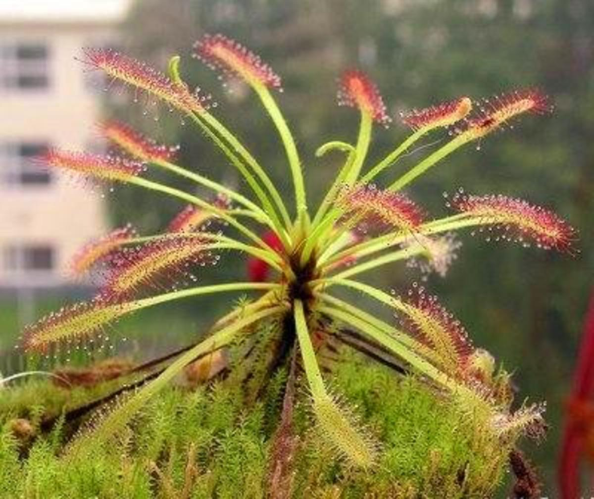 Drosera capensis, probably the most popular and cultivated sundew species .
