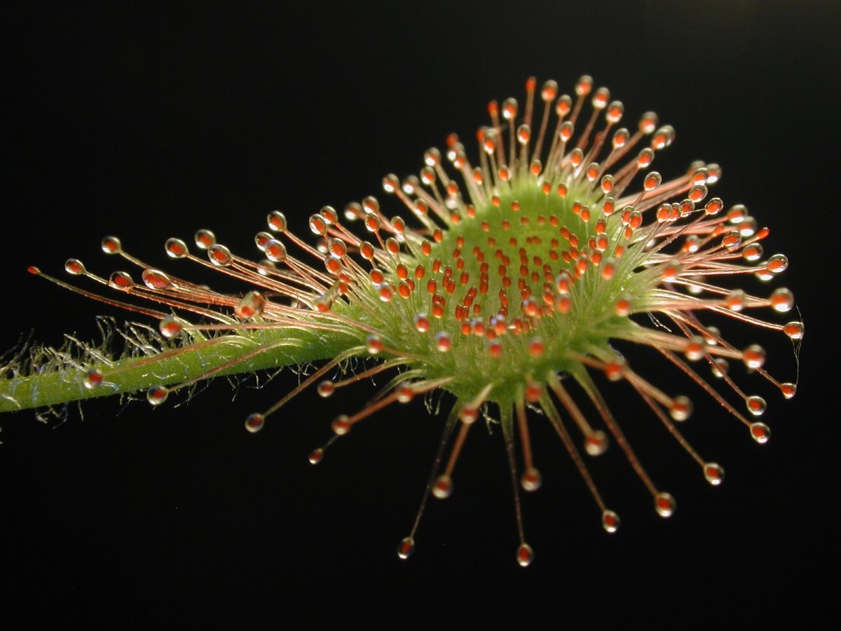 Detail on the adhesive hairs of a Drosera rotundifolia leave.