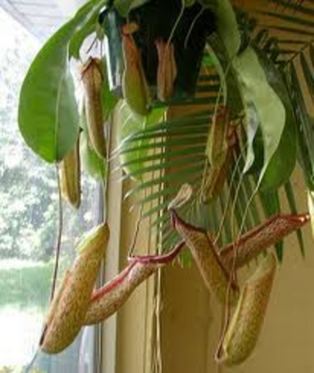 A nepenthes cultivar, probably a hybrid.