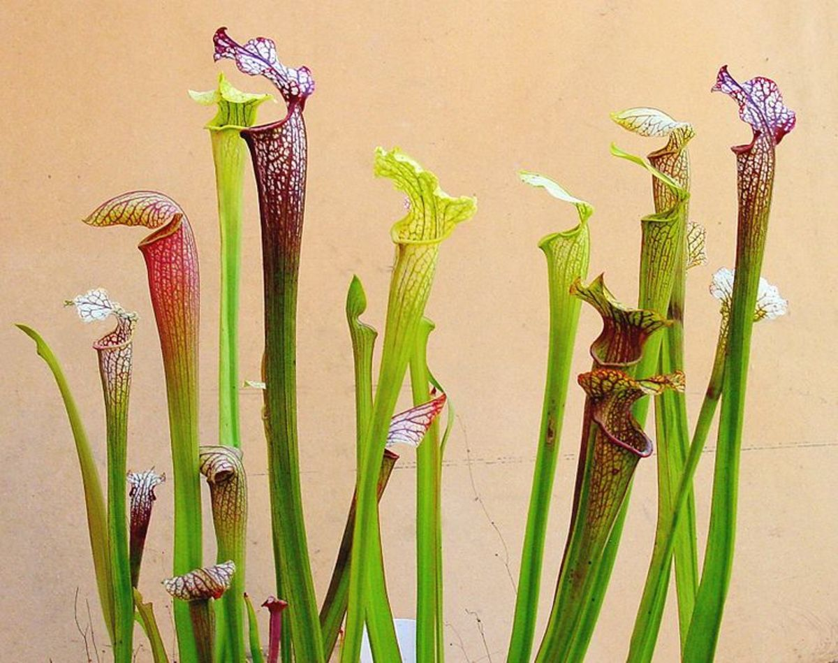 The popular American pitcher plants, Sarracenia sp.