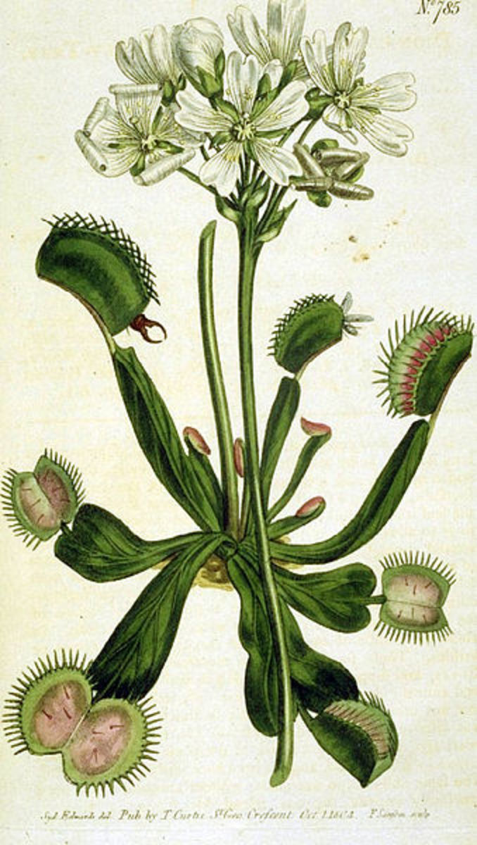 The famous and suggestive Venus' Flytrap, Dionaea muscipula.