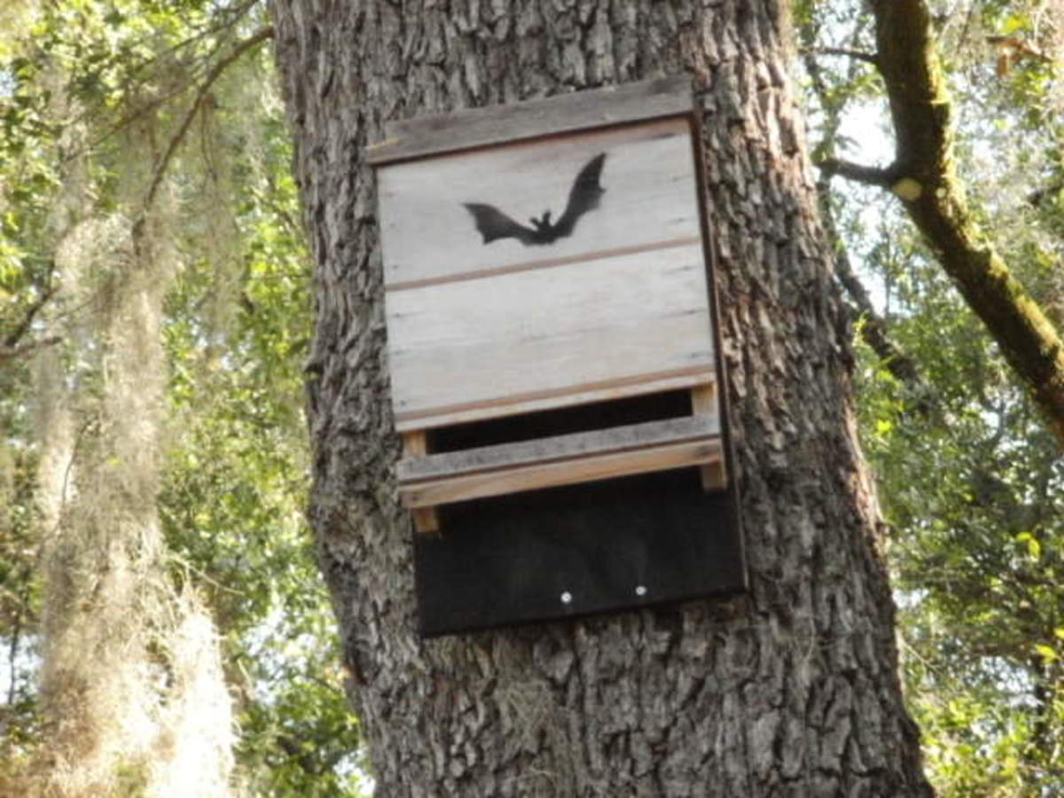 Bat House on Oak Tree in My Backyard