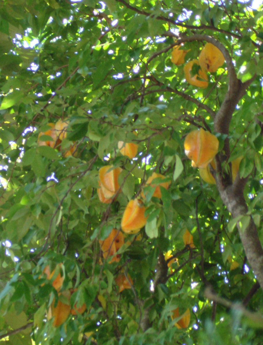 Starfruit hanging from a tree.  These fruits were out of my reach.  The tree was about 15 feet tall.