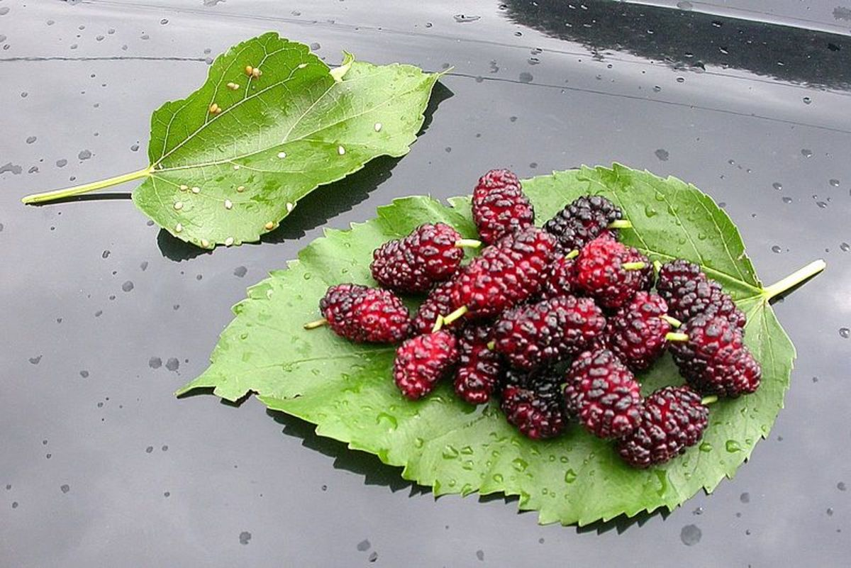 Benefits Of Mulberry Plant - Morus Alba Leaves And Mulberries For Health