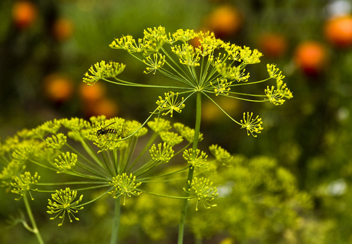 Flowering Dill Plants.