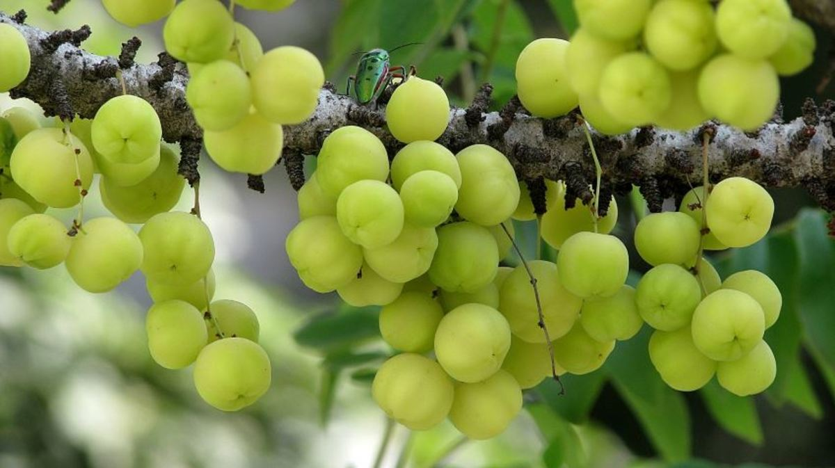 Karamay or bangkiling fruits.