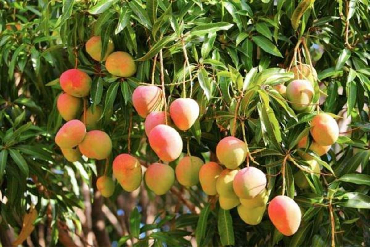 Mango (Mangga)