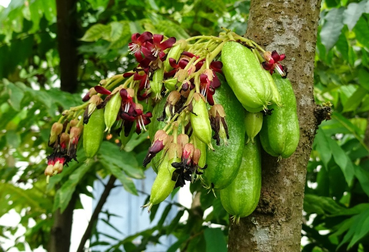 Bilimbi fruits (Kamyas)