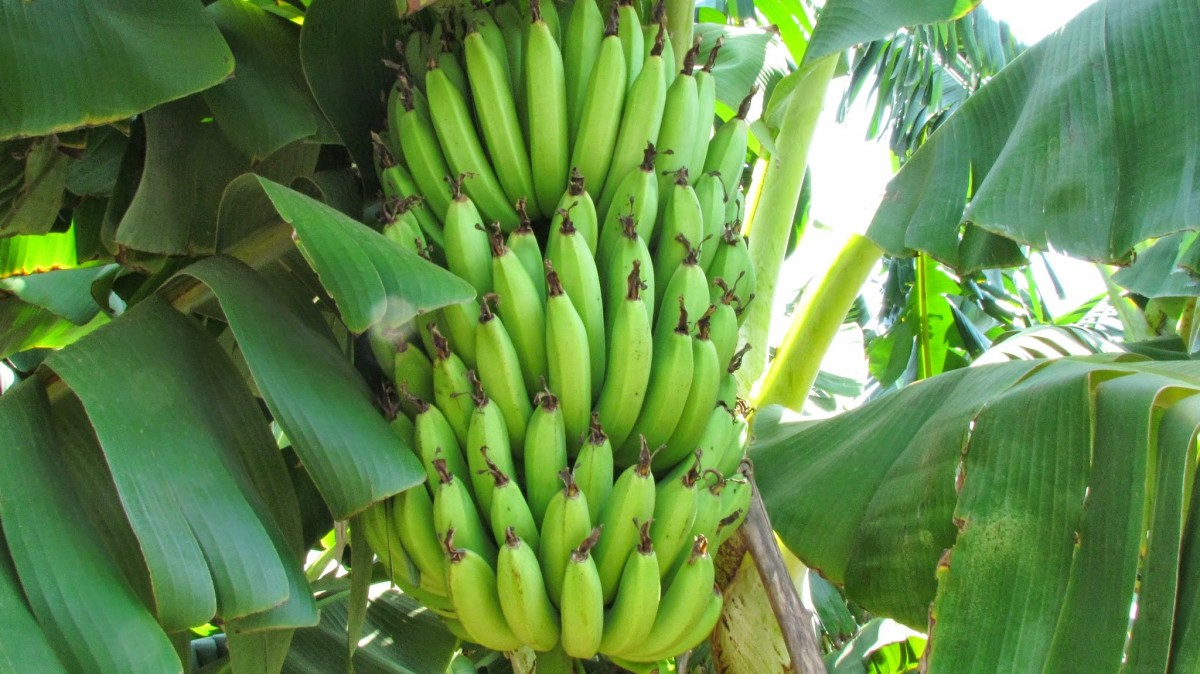 Banana (Saging)