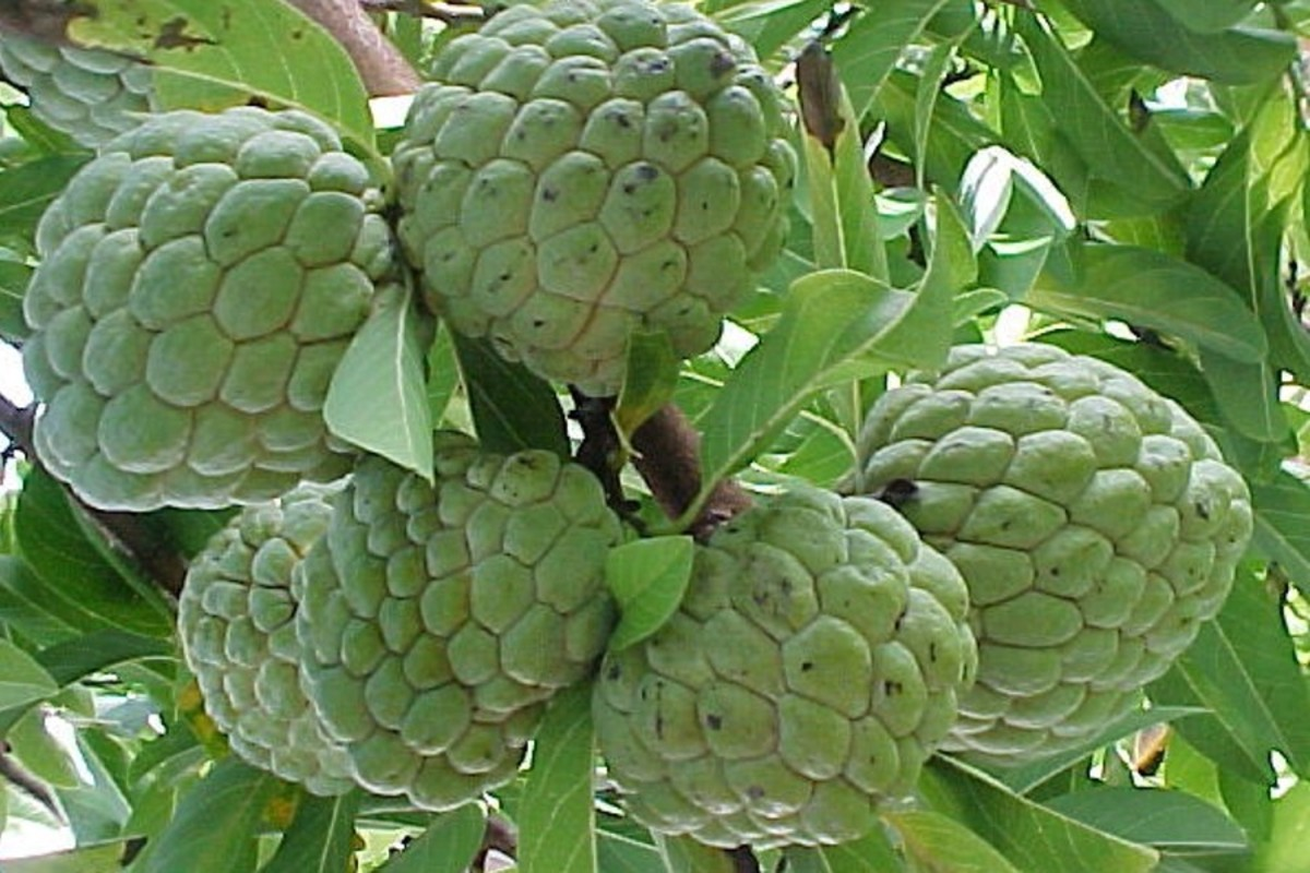 Sugar-apple (atis)