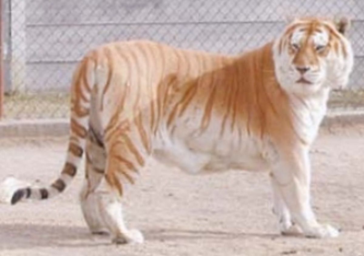 All The Colors Of The Tiger Hubpages