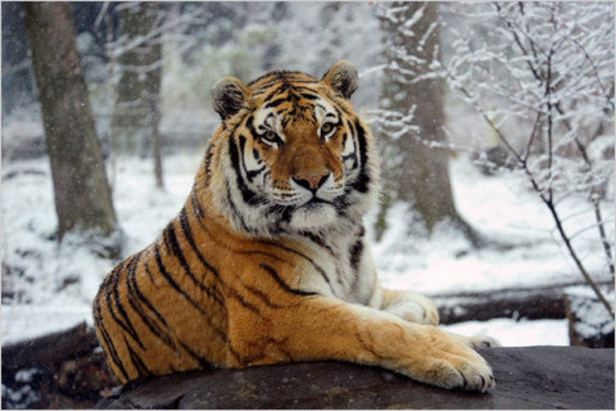 The most common and well known color of tiger.