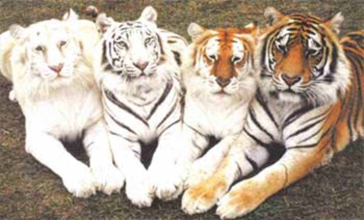 the most abundant of the colors in the tiger rainbow.