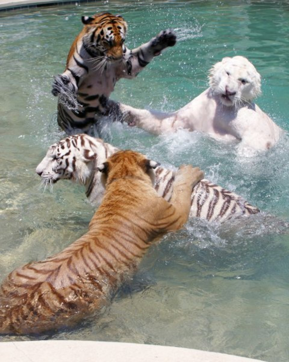 different colored tigers at play