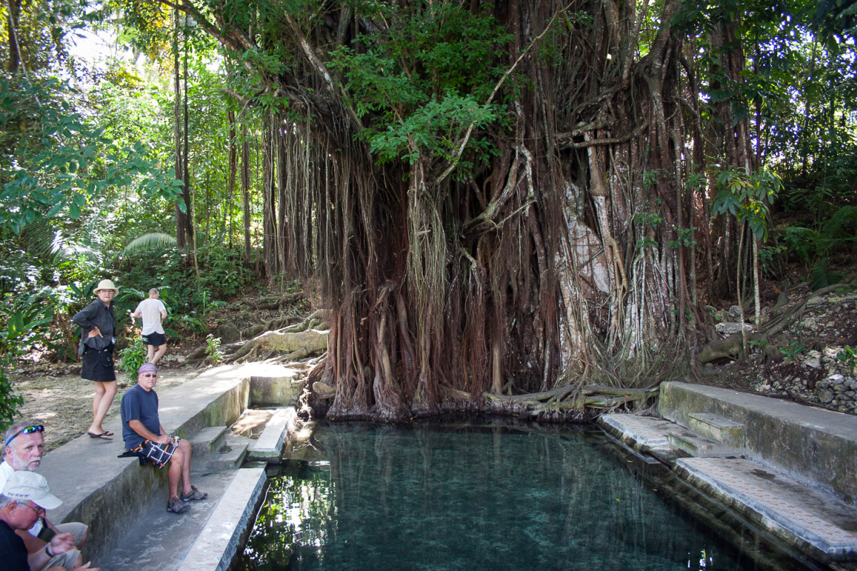 Ficus indica - balete tree or banyan tree