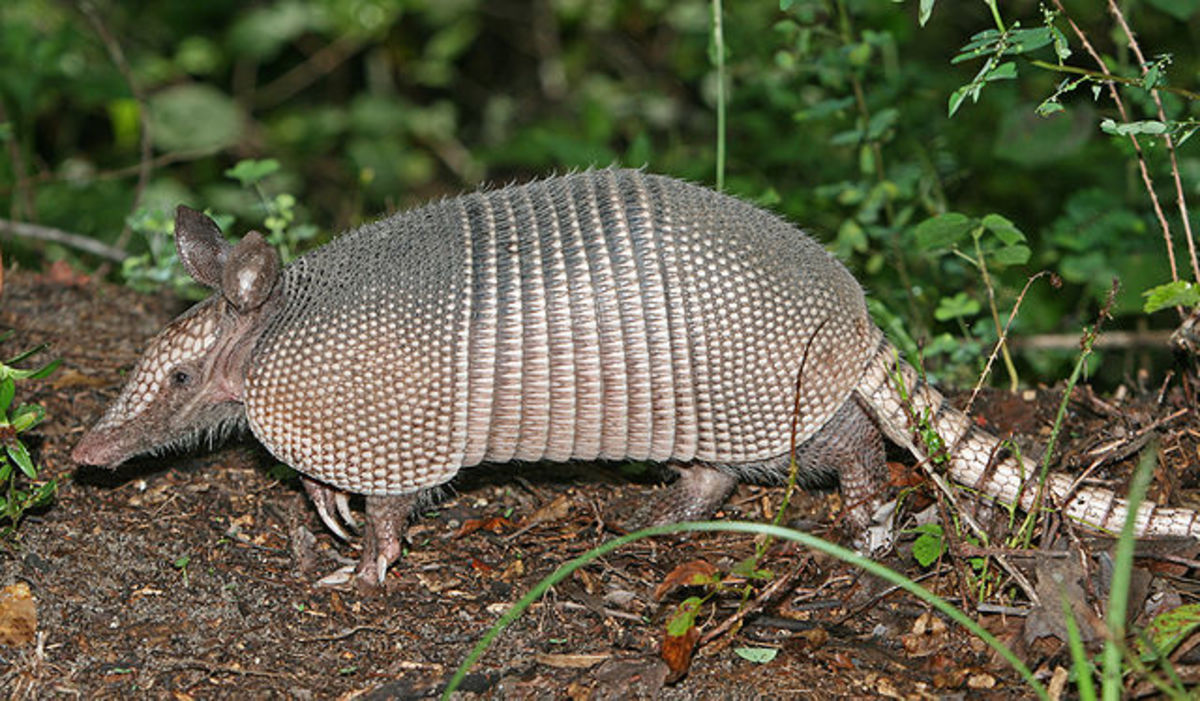 The nine banded Armadillo