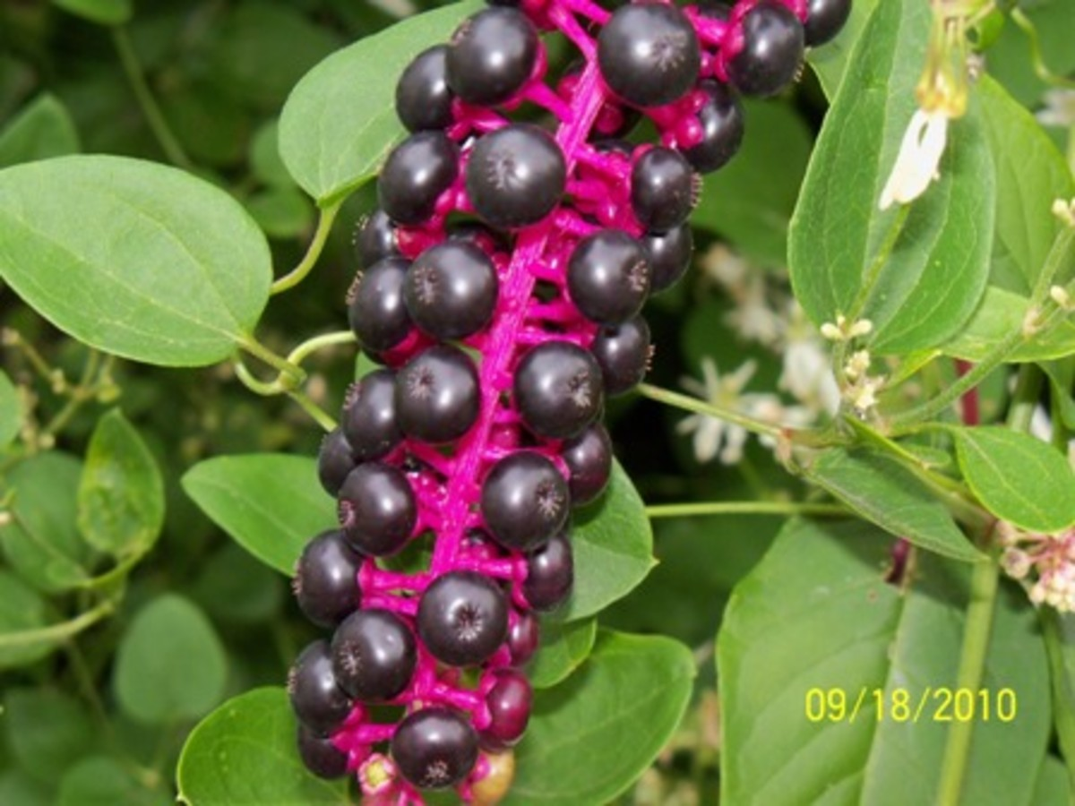 The cluster of berries on a mature pokeweed plant. POISONOUS when consumed.