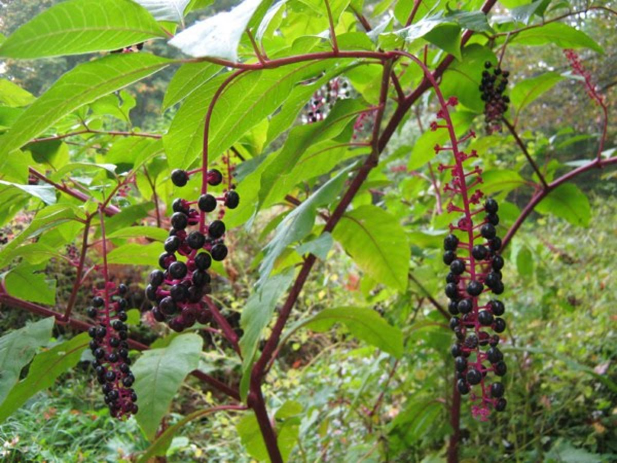 Stems are red and mature berries are dark purple.