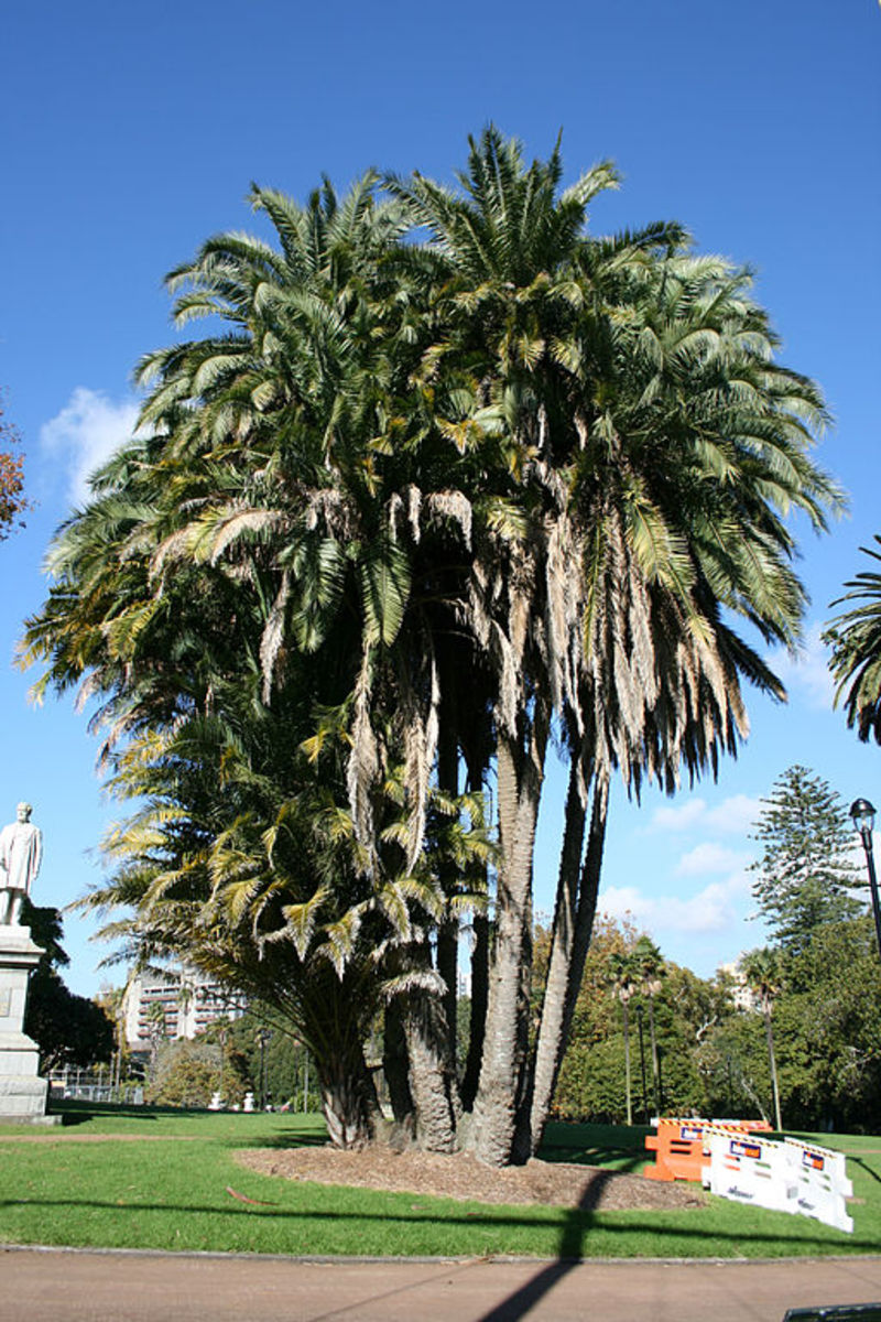 Senegal Date Palm