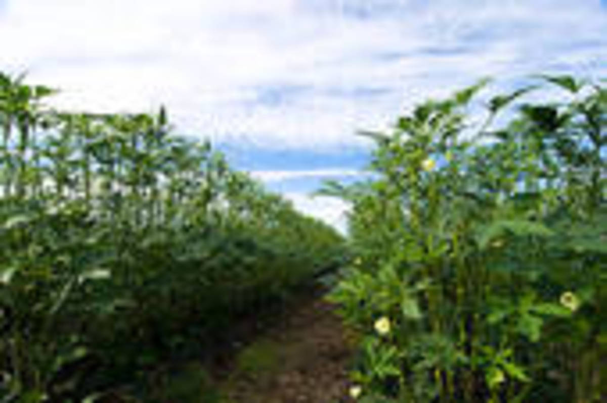 Rows of Okra
